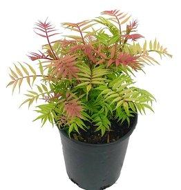 Sorbaria sorbifolia 'Sem' - 1 gal