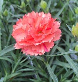 Dianthus 'Super Trouper Orange'- 4 inch