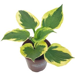 Hosta 'Twilight'- 1 gal