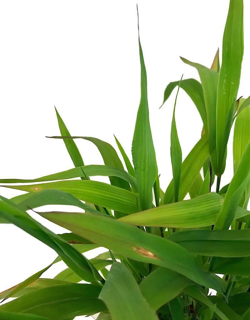 Chasmanthium latifolium- 1 gal