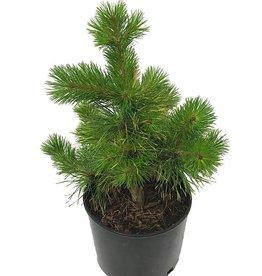 Pinus contorta 'Chief Joseph'- 3 gal