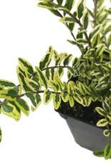 Lonicera nitida 'Lemon Beauty'- 4 inch