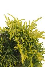 Juniperus p. 'Golden Joy'- 4 inch