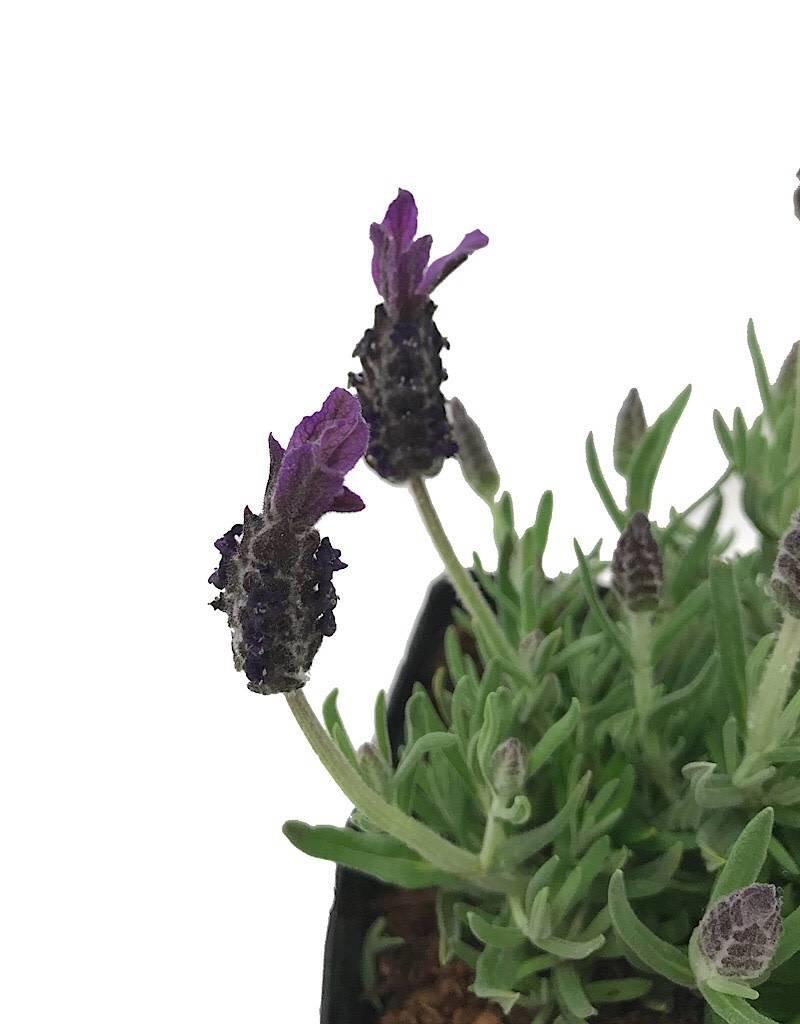Lavandula s. 'Anouk Deep Rose'- 1 gal