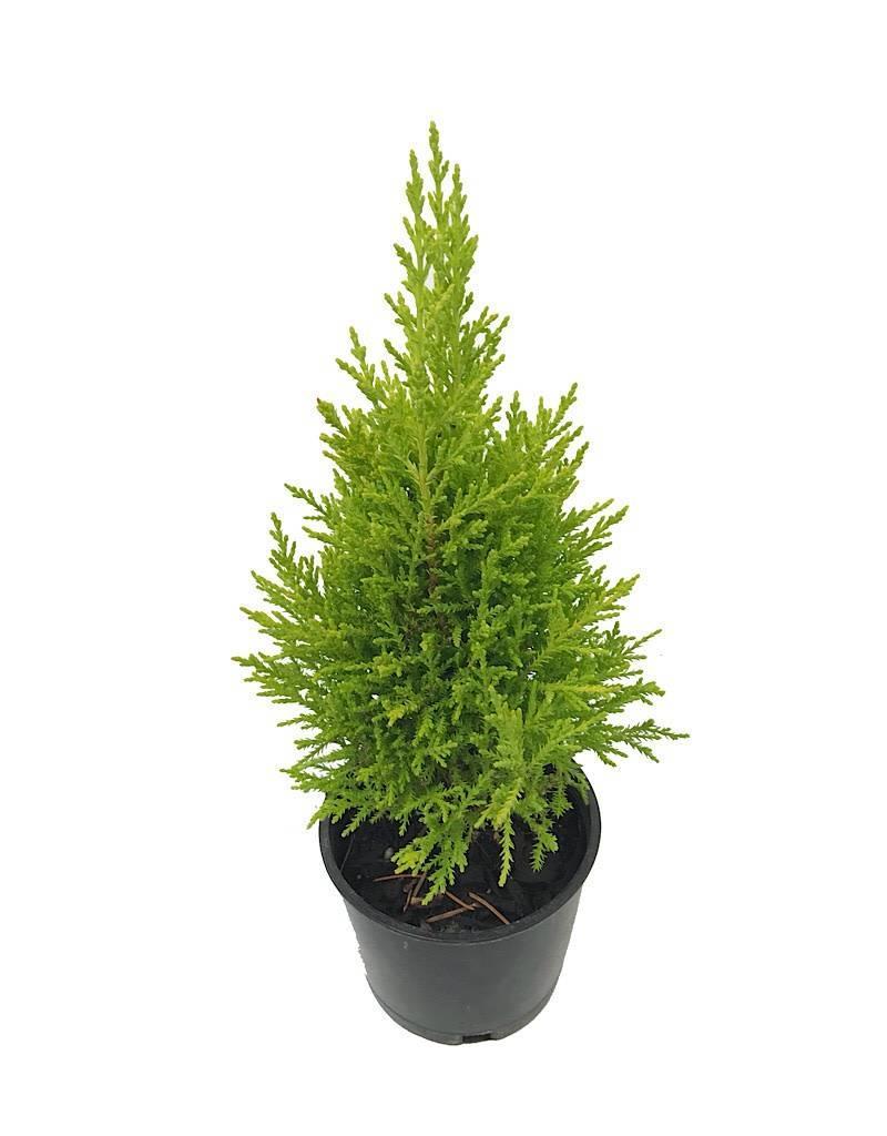 Cupressus macro. 'Wilma'- 4 inch