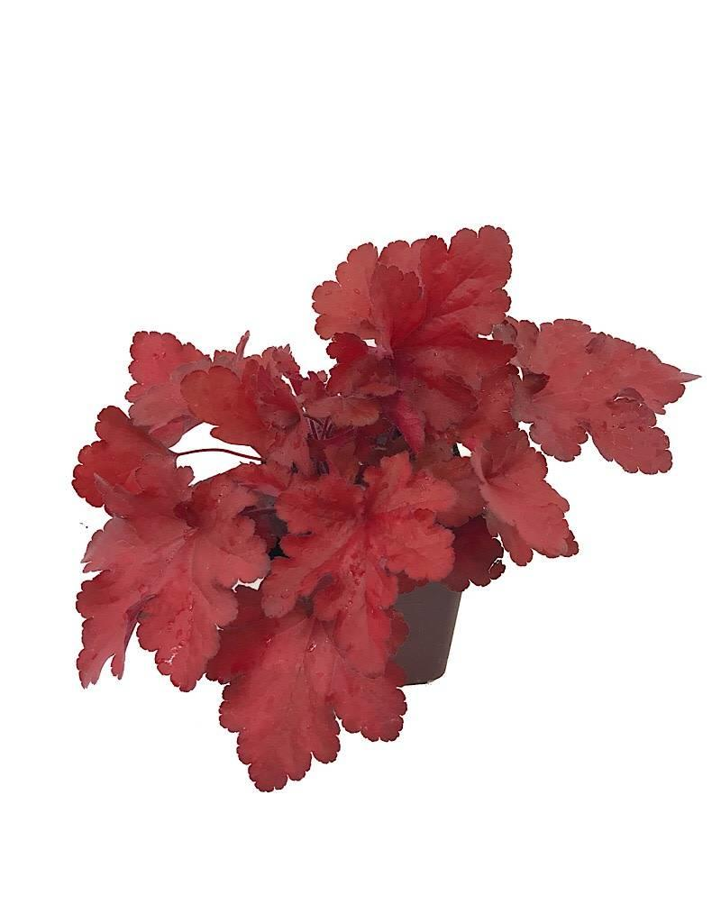 Heuchera 'Forever Red' - Quart