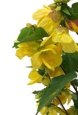Abutilon 'Lucky Lantern Yellow'- 1 gal