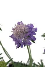 Scabiosa 'Blue Note'- 1 gal