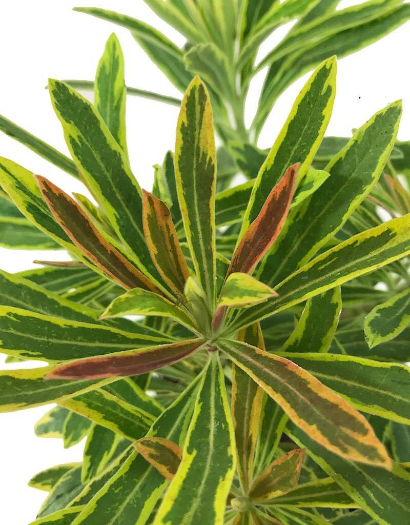 Euphorbia 'Ascot Rainbow'- Quart