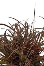 Uncinia rubra 'Belinda's Find' - 4 inch