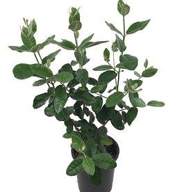 Feijoa sellowiana 'Coolidgei' - 1 gal