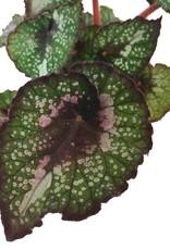 Begonia rex 'Twister' - Quart