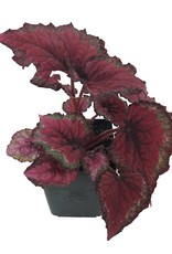Begonia rex 'Ideal Red' - Quart