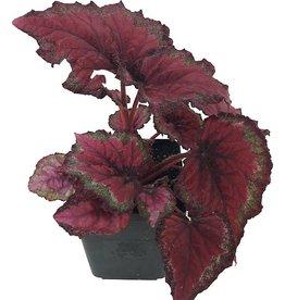 Begonia rex 'Ideal Red' - Quart