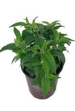 Monarda 'Balmy Lilac'- 1 gal