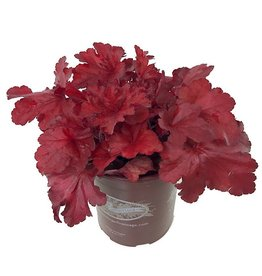 Heuchera 'Forever Red' - 1 gal