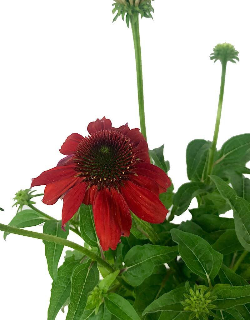 Echinacea 'Sombrero Salsa Red'- 1 gal