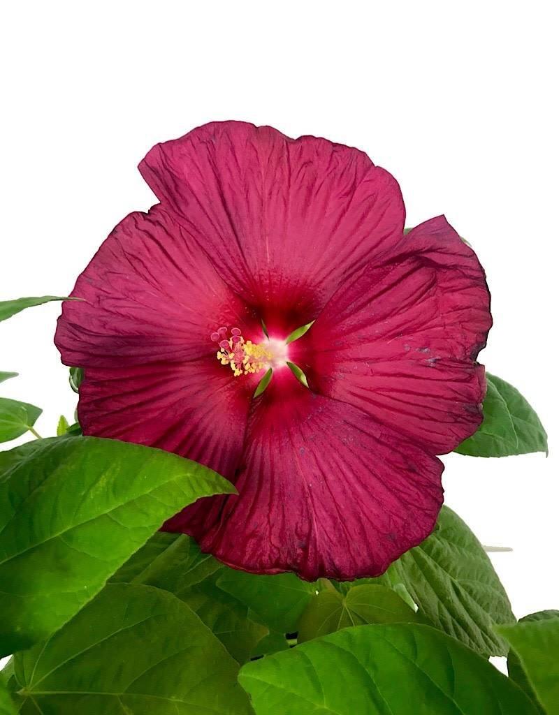 Hibiscus 'Luna Red' - 1 gal