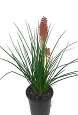 Kniphofia 'Redhot Popsicle' - 1 gal