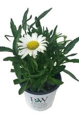 Leucanthemum 'Daisy May' - 1 gal