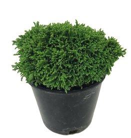 Cham. pisifera 'Tsukumo' - 4 inch