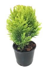 Cham. lawsoniana 'Minima Aurea' - 4 inch