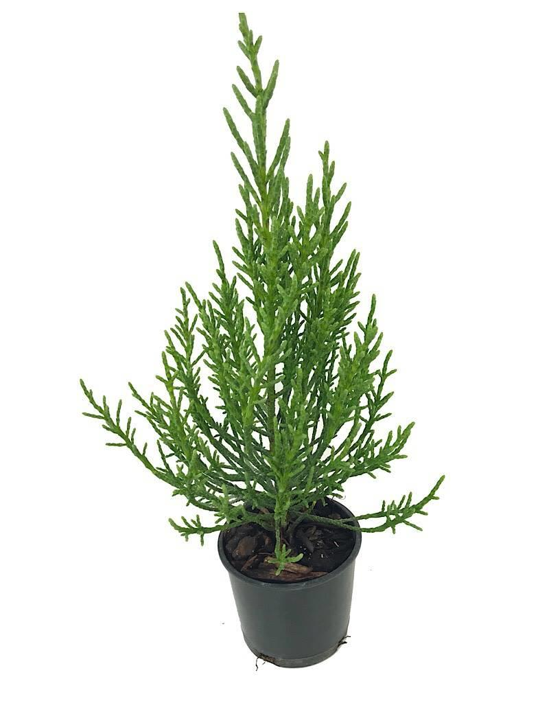 Athrotaxis cupressoides - 4 inch