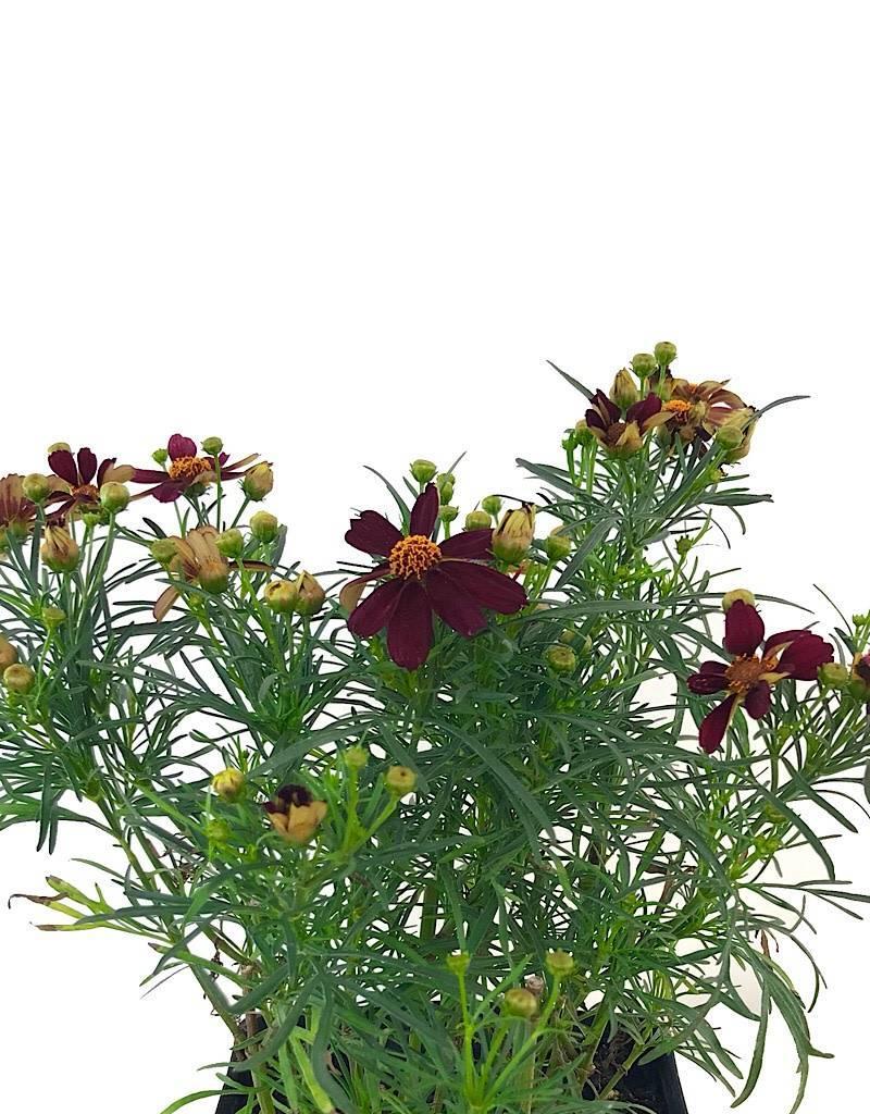 Coreopsis 'Red Statin' - 1 gal
