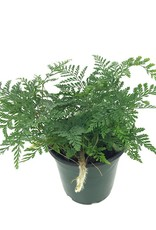 Davallia fejeensis 'White' - 4 inch