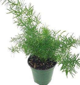 Asparagus densiflorus 'Myers'- 4 inch