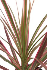 Dracaena marginata 'Colorama' - 4 inch