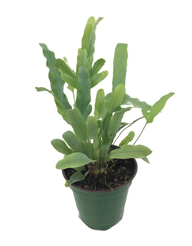 Polypodium pseudo-aureum 'Virginia Blue' - 4 inch