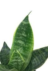 Sansevieria fut. 'Robusta'- 4 inch