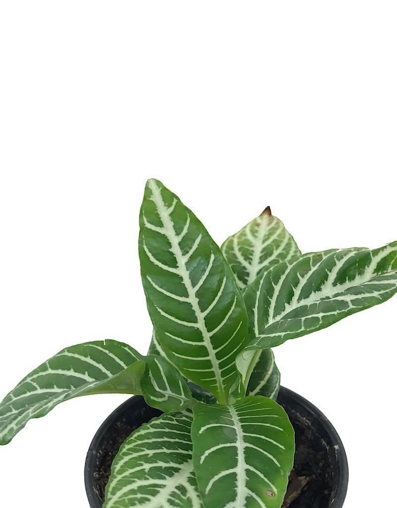 Aphelandra Dania - 4 inch