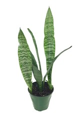 Sansevieria 'Black Coral'- 4 inch
