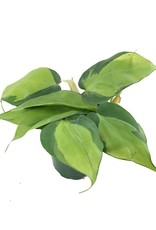 Philodendron 'Brazil'- 4 inch