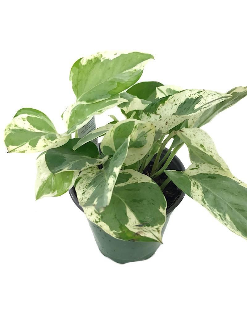 Pothos 'Pearls and Jade' - 4 inch