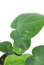 Philodendron 'Monstera' - 6 inch