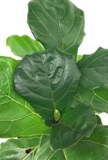 Ficus lyrata - 10 inch