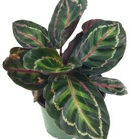 Calathea roseopicta 'Medallion'- 6 inch