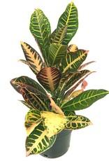 Codiaeum v. 'Petra' - 6 inch