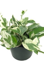 Pothos 'Pearls and Jade' - 6 inch