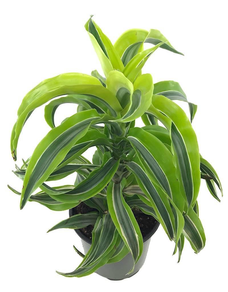 Dracaena deremensis 'Dorado' - 6 inch