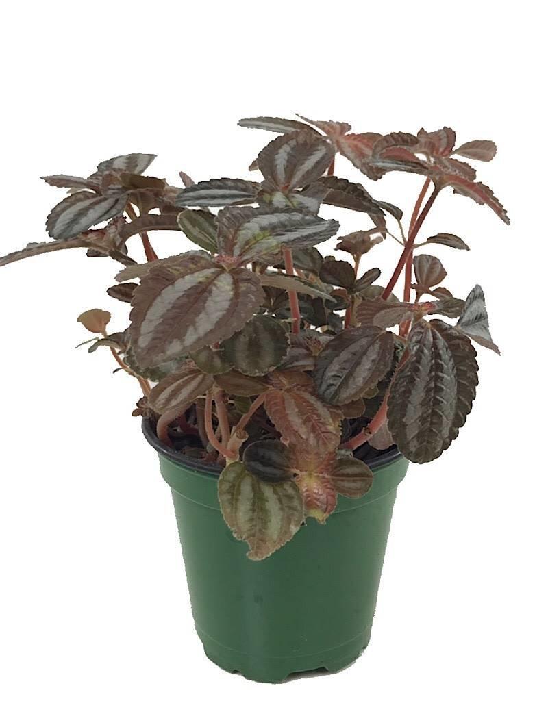 Pilea 'Red Leaf' - 4 inch