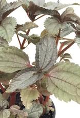 Pilea involucrata 'Silver Leaf' - 4 inch