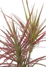 Dracaena marginata 'Colorama' - 6 inch