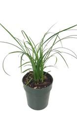 Beaucarnea recurvata - 2 inch