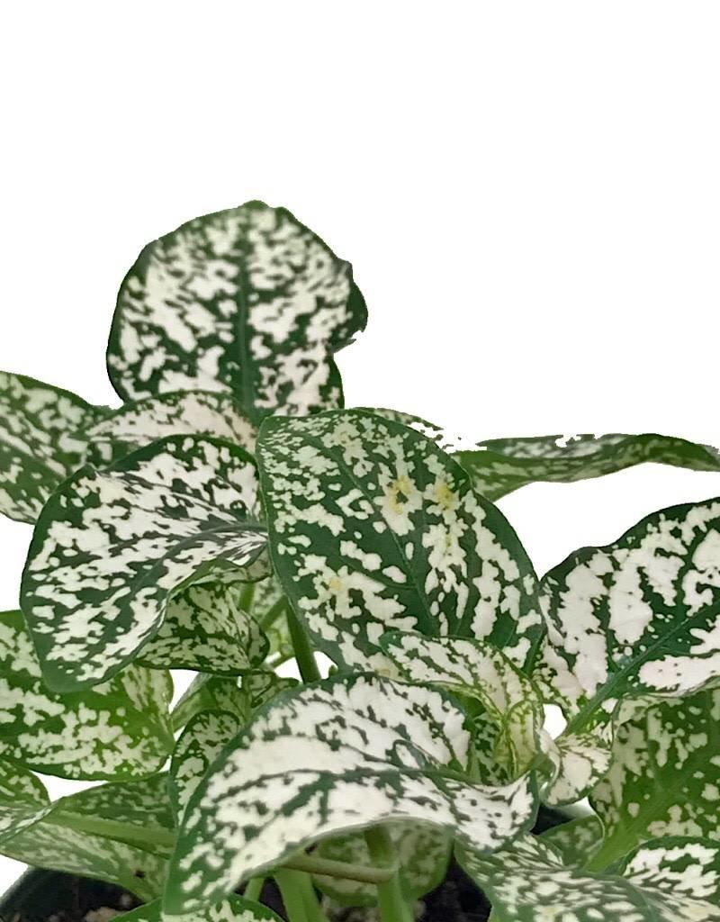 Hypoestes phyllostachya 'White' - 2 inch