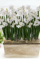 November 11th, Paperwhites for the Holidays