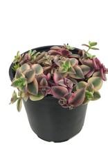 Crassula p. 'Variegata' - 4 inch
